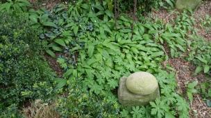 Der Bärlauch beginnt zu blühen. Wir haben schnell noch welchen aus Schwiegermutters Garten gemopst..