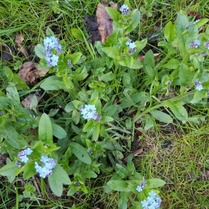 Die Vergissmeinnicht mit ihren hübschen himmelblauen Blüten ist ein Symbol der Liebenden.