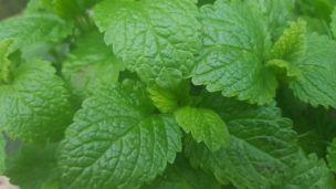 Minze lässt sich ganz easy im Garten oder auf dem Balkon anpflanzen.
