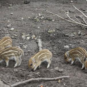 Im Wildgatter haben die Wildschweine Nachwuchs bekommen. Unsere Tochter konnte gar nicht genug von den süßen Frischlingen bekommen.