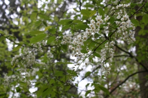 Die Traubenkirsche blüht. Sie trägt ihre Blüten von April bis Mai oder sogar Juni.
