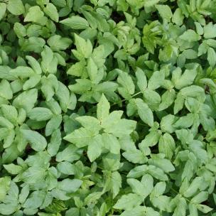 Giersch, auch Waldspinat genannt, wächst einfach überall und schmeckt herrlich als Frühlingssalat. Besonders mild im Geschmack sind die jungen zarten Blätter.