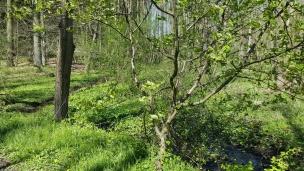 Rund um das Waldbächlein wachsen Sumpfdotterblumen.