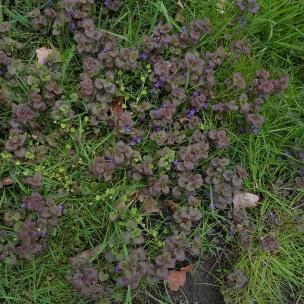 Der niedliche Gundermann mit seinen lila Blüten wuchert klein und unauffällig an jeder Ecke - aus ihm lassen sich hübsche kleine Kränze binden.