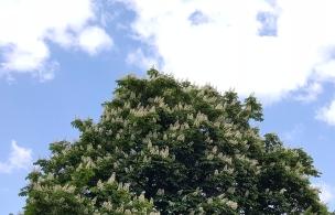 Die Kastanie steht jetzt im Mai in voller Blüte.