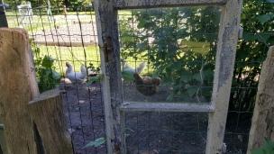 Auch Nachbars Hühner lassen sich, zur großen Freude des Landkindes, blicken..
