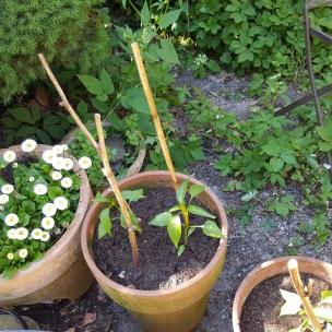 Aus den Samen der Chili-Schoten des letzten Jahres entstehen nun bald neue feurige Schoten - lecker für Chimichurri!