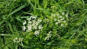 Der rasch wachsende Waldspinat (Giersch) blüht nun und auch die hübschen weißen Blüten sind essbar - und machen sich super in grünem Salat.