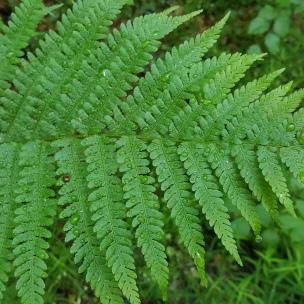 Der Wald-Frauenfarn und einige seine Brüder und Schwestern haben eine sehr lange Geschichte: schon zu Urzeiten gab es sie.