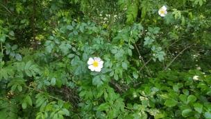 Die Hagebutte ist eigentlich eine Rose, ihre ungiftige Frucht ist genießbar - besonders als Tee.