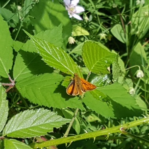 """Dieser frisch geschlüpfte Schmetterling könnte ein """"Dukaten-Falter"""" sein.."""
