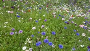 Blau, weiß, lila, rosa - die Kornblume ist mein absoluter Liebling. Besonders gut gefällt sie mir dennoch in ihrem klassischen blau.