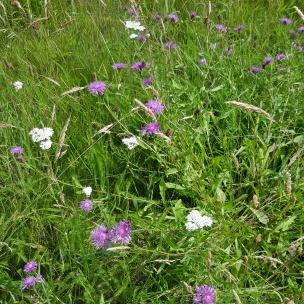 Neben den Kornblumen zeigt sich zurückhaltend die Schafgarbe. Sie ist eine wichtige Pflanze für Bienen und gilt bei uns Menschen als eine besondere Heilpflanze.