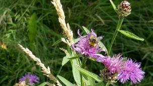 Dort wo sich Feld- und Wiesenblumen finden lassen sind Hummeln und Bienen nicht weit..