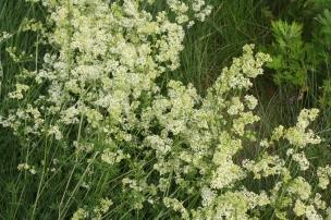 Das Klettenlabkraut steht kurz vor der Blüte. Unzählige kleine Blüten strahlen in hübschem Weiß.