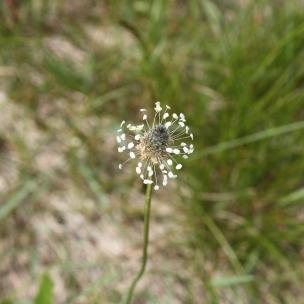 Nur bei genauerem Hinsehen fällt auf, wie hübsch die Blüte des Spitzwegerichs doch ist.