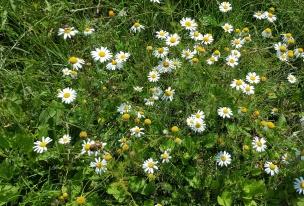 Die Kamille duftet am Feldrand - so riecht der Sommer!