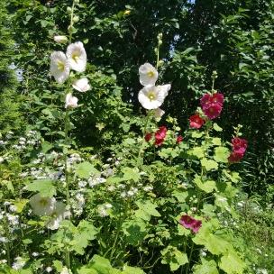 Die Stockrose gehört für mich einfach in jeden schönen Bauerngarten. Sie gehört zu den Malven-Gewächsen.