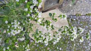 Der Oregano blüht. Die Blüten sind ebenfalls essbar und sehr aromatisch.