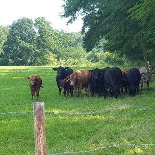 Auf unserer Lieblings-Spazierroute begrüßt das Landkind gerne die Kuhherde.