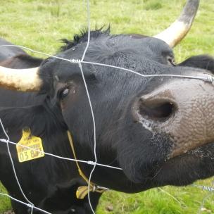 Die Kühe begrüßen uns bei unserer alltäglichen Runde.