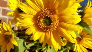 Was wäre der späte August nur ohne die leuchtend gelbe Sonnenblume?