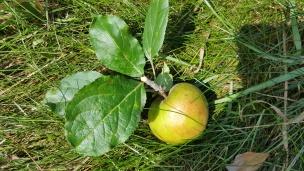 Äpfel gibt es nun zu Genüge - und es folgen noch viele weitere Sorten. Frisch gepflückt schmecken sie einfach am Besten, schön knackig und saftig.