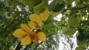 Allmählich wechselt das Kleid der Bäume von einem satten Grün in warme Gelb-, Braun- und Rottöne. Die Buchen sind jedoch eher spät dran..