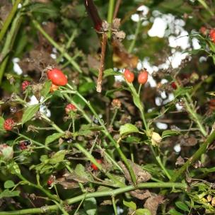 Die Frucht der Rose, die Hagebutte, eignet sich wunderbar um Tee zu kochen. Dafür müssen sie allerdings vorerst getrocknet werden.