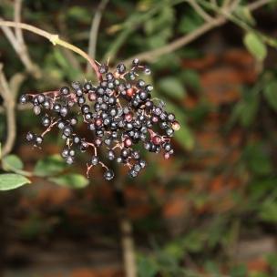 Für Holunderbeeren-Saft ist es nun schon fast zu spät, die hübschen Beeren vergehen nun.. Heißer Holunder-Saft hilft übrigens super bei Erkältungen.