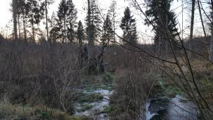 Der Bruchwald ist fast permanent nass und sumpfig, nun ist all das Nass gefroren.