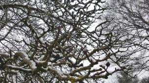 Der alte Apfelbaum ruht noch, kleine Schneeflöckchen haben sich auf seine Äste fallen lassen. Er hat noch Zeit, bis zu seiner Blüte.