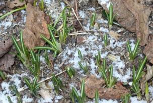 Der Krokus ist immer einer der ersten Frühlings-Boten.