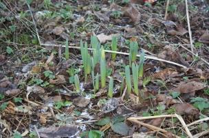 Ebenso die Tulpen recken ihre Hälse gen Sonne. Wir freuen uns sehr auf die farbenfrohen Liliengewächse..