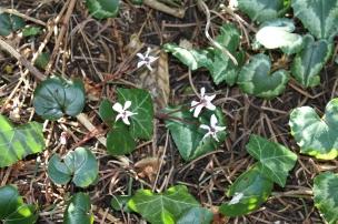 Die kleinen Alpenveilchen zeigen sich in weiß und violett, unsere Arten mögen die Kälte.
