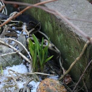 Unser Kompost lässt uns immer wieder staunen, hier wachsen die unterschiedlichsten Dinge..