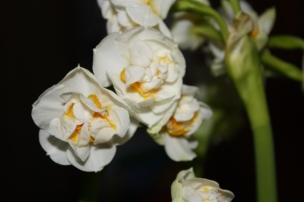 Die Narzissen blühen herrlich schön und duften..