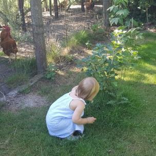 Auch die Hühner dürfen von den Himbeeren probieren..