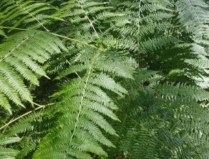 Der Adlerfarn ist mittlerweile unglaublich groß geworden. Die großen Blättern des großen Farns finde ich wirklich hübsch.