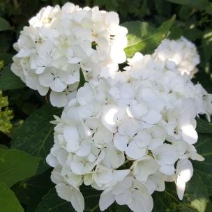 Hortensien sind die Schönheiten unseres Gartens.