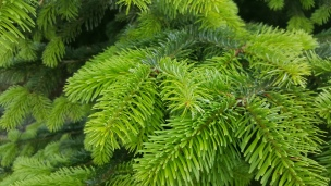 Frische Triebe in herrlichem Grün.. und der Duft erst!