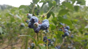 Überall wachsen zuzeit die süßen blauen Beeren!
