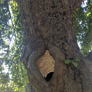 Wir beobachten täglich, wie die Hornissen mit dem Baus ihres Nestes voran kommen.