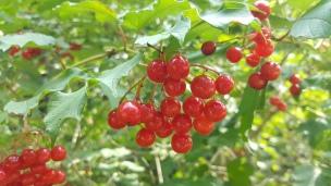 Das strahlende Rot der Schneeball-Beeren läutet den Herbst ein!