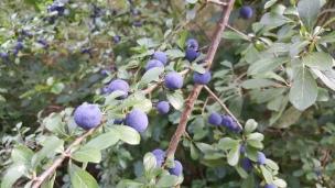 Aus den Beeren der Schlehe lässt sich Marmelade und Schnaps herstellen.