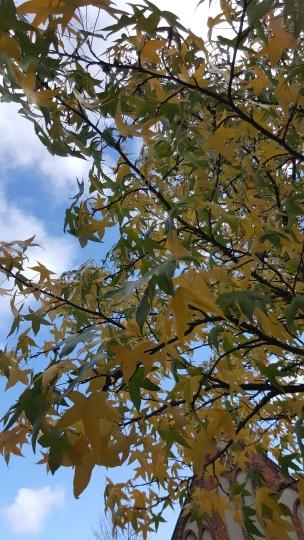 Der Ahorn wechselt sein Blätterkleid immer in den allerschönsten Farben..