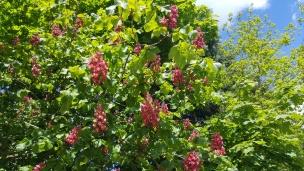DIe rotblühende Kastanie ist ein besonderer Blickfang.