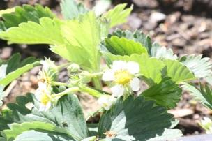 Juhuu! Unsere Erdbeeren bilden viele schöne Blüten aus..