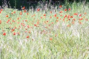 Auf der Wiese vor dem Haus reckt zarter Mohn seine feinen Blüten gen Sonne.